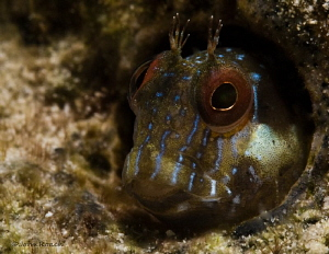Seaweed Blenny about 15 meters from the beach in about 8 ... by John Roach 